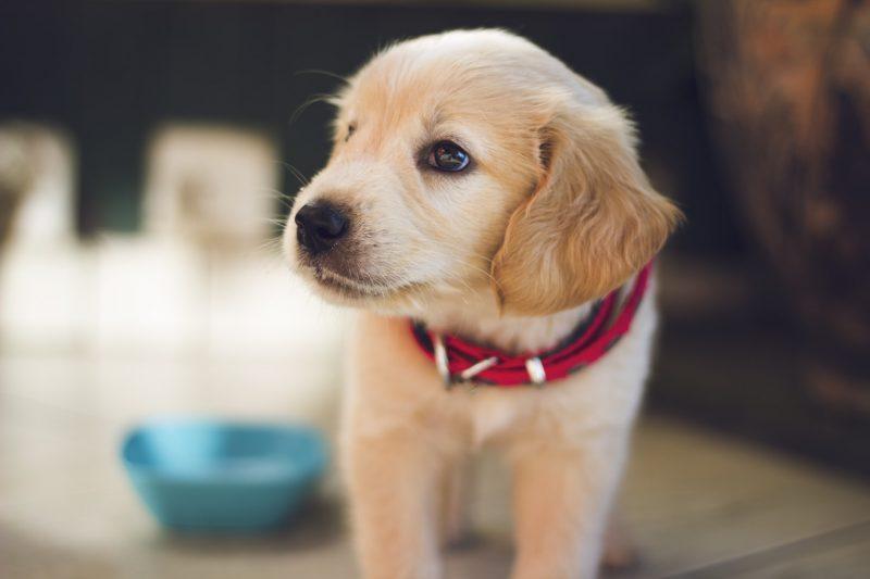 puppy-bruin-hond