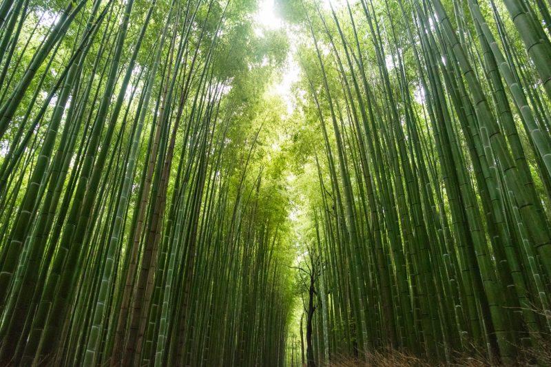bamboe-bomen