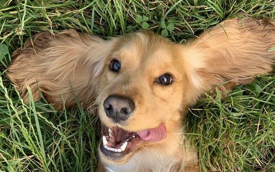 hond-in-gras